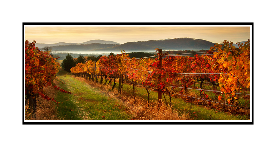 Autumn on the Vine - Vinyard in Afton Virginia