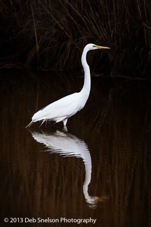 Great White Heron Assateague National Wildlife Refuge Chincoteague Island Virginia Eastern Shore Marsh Seashore tranquility.jpg