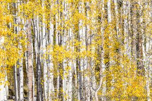 Aspen Stand in Autumn at Kebler Pass Colorado.jpg