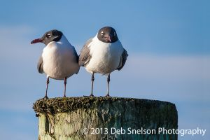 Two Terns at Chincoteague Island, Virginia