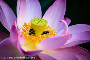 Lotus Blossom, Kenilworth Aquatic Gardens, Washington DC