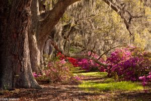 Azaleas and Live Oaks - Charleston SC