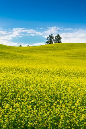 Canola fields rape seed mustard vertical Colfax Washington Palouse Morley Rd.jpg