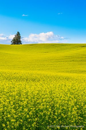 Simple Canola fields rape seed mustard Colfax Washington Palouse Morley Rd.jpg