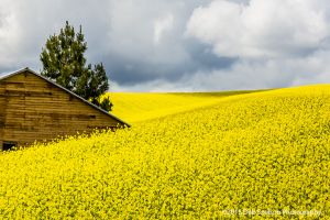 Simple Canola fields rape seed mustard with shed Colfax Washington Palouse Morley Rd.jpg