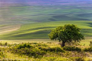 Steptoe Butte Lone Tree Colfax Washington Palouse.jpg