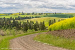 The Road to beautiful Canola fields rape seed mustard Colfax Washington Palouse Morley Rd.jpg