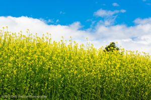 Yellow meets blue Canola fields rape seed mustard pano Colfax Washington Palouse Morley Rd720.jpg