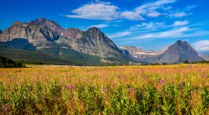 Fireweed and Many Glacier Glacier National Park Montana (2)-c37.jpg