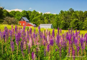 Lupines and Barn Wiscasset Maine.jpg