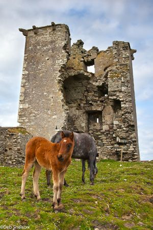 Connemara-Ponies at Renvyl Castle County Galway Ireland.jpg