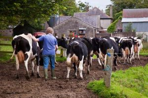 Cows to Farm Grange Limerick Ireland.jpg