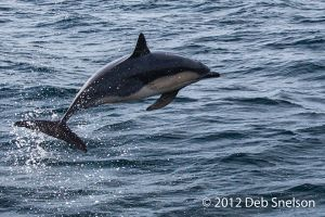 Dolphin jumping ahead of boat Colin Barnes Whale Watching Cork Ireland.jpg