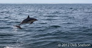 Dolphins jumping ahead of boat Colin Barnes Whale Watching Cork Ireland.jpg