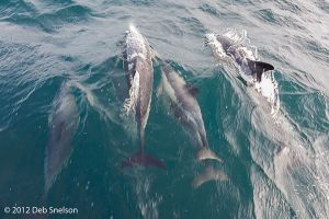 Dolphins racing ahead of boat Colin Barnes Whale Watching Cork Ireland.jpg