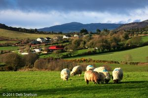 Faughart Hill Counkty Offaly Ireland Sheep pastoral scenic.jpg