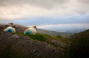 Healy Pass sheep Cork Ireland.jpg