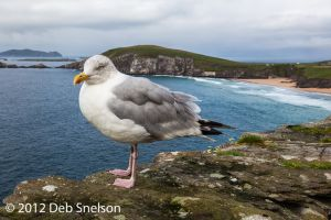 Seagull on Slea Head Ring of Kerry Ireland.jpg