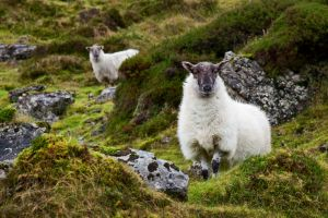 Sheep at Carrowkeel County Sligo Ireland.jpg