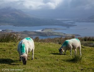 Sheep on Geokaun Mountain Valencia Island Kerry Ireland.jpg