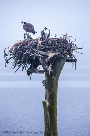 Osprey on Nest Outer Banks North Carolina.jpg
