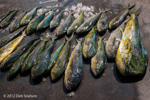 _MG_5926 fresh-caught fish 720 sRGB.jpg